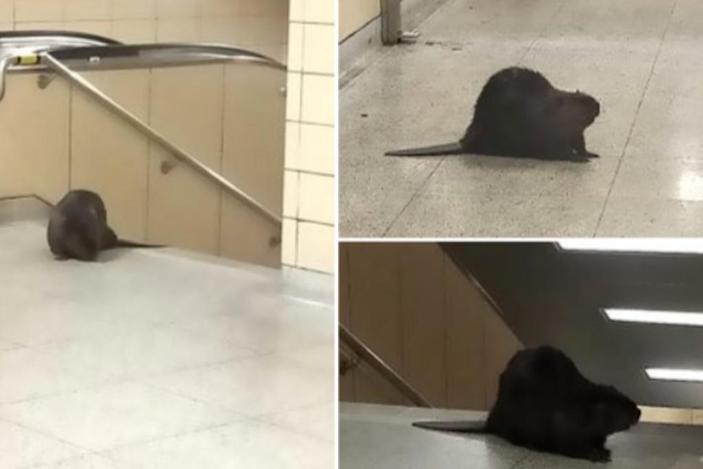 Beaver takes the subway