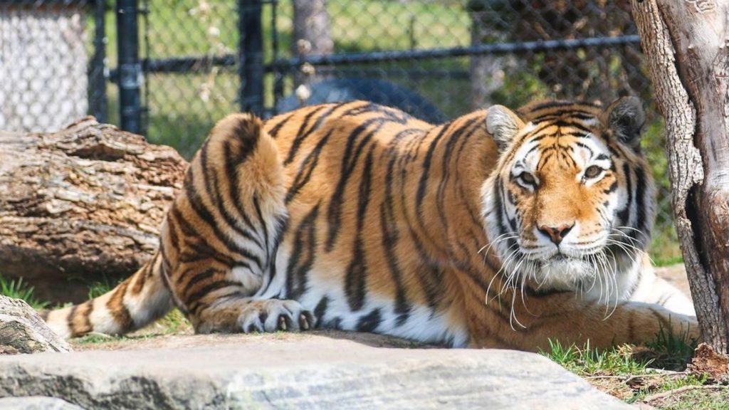 Amur tiger Mazy